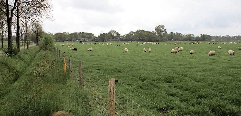 Foto schapen Marsdijk